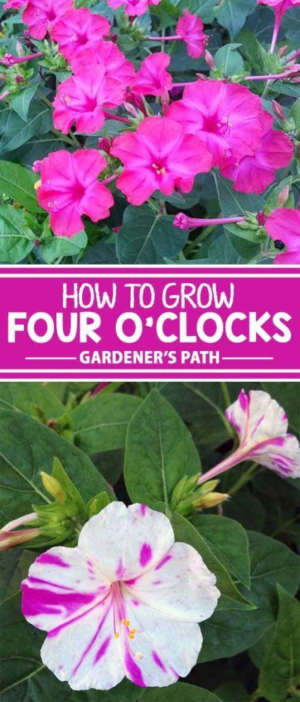 Grandma will feel at home when you plant old-fashioned but always lovely four o...