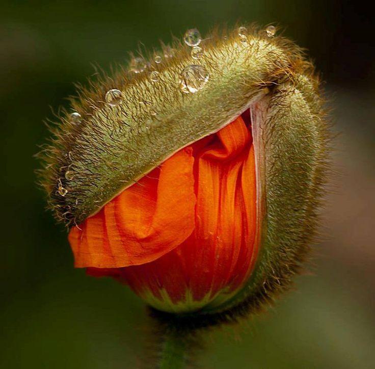 060514 orange poppies ~