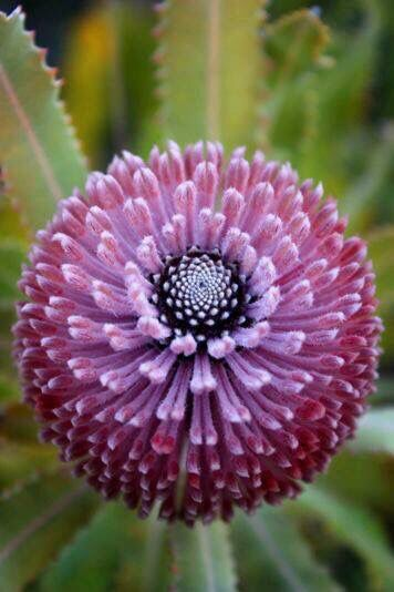 Banksia flowers. From Chrome research: