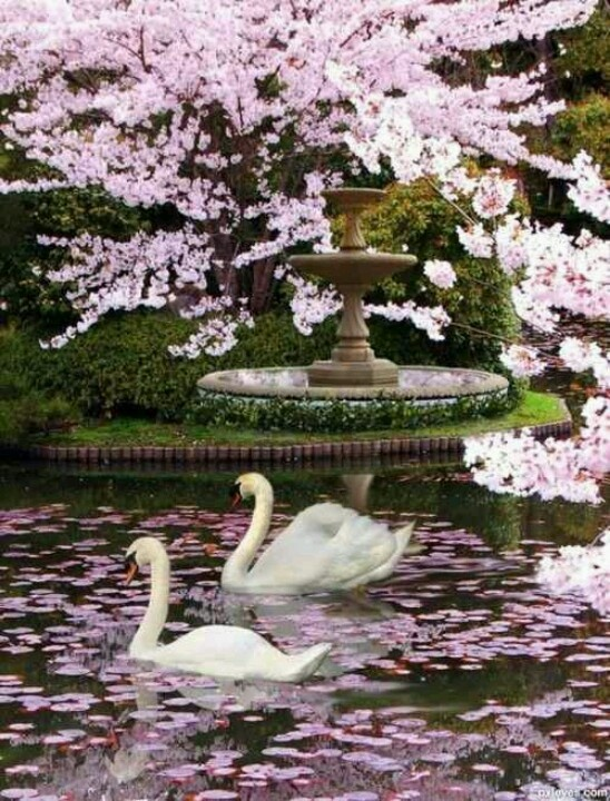 Beautiful colours in lilac-purple hues with 2 swans gliding in the pond