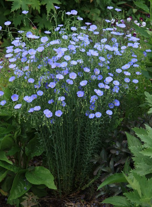 Blue Flax - one hearty plant that come up year after year - and the deer won&#39...