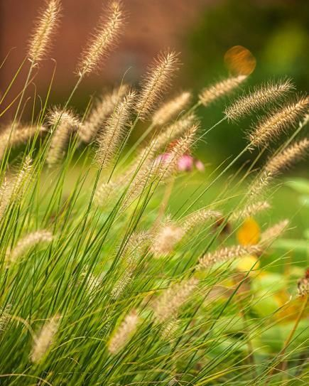 Fountaingrass  Graceful sprays distinguish this ornamental grass, which is parti...