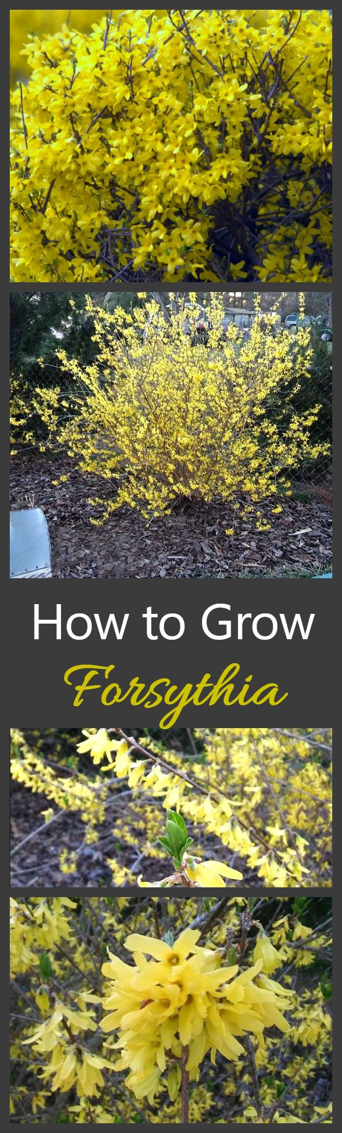 Growing Forsythia bushes is one of the best ways to get a really early show of f...