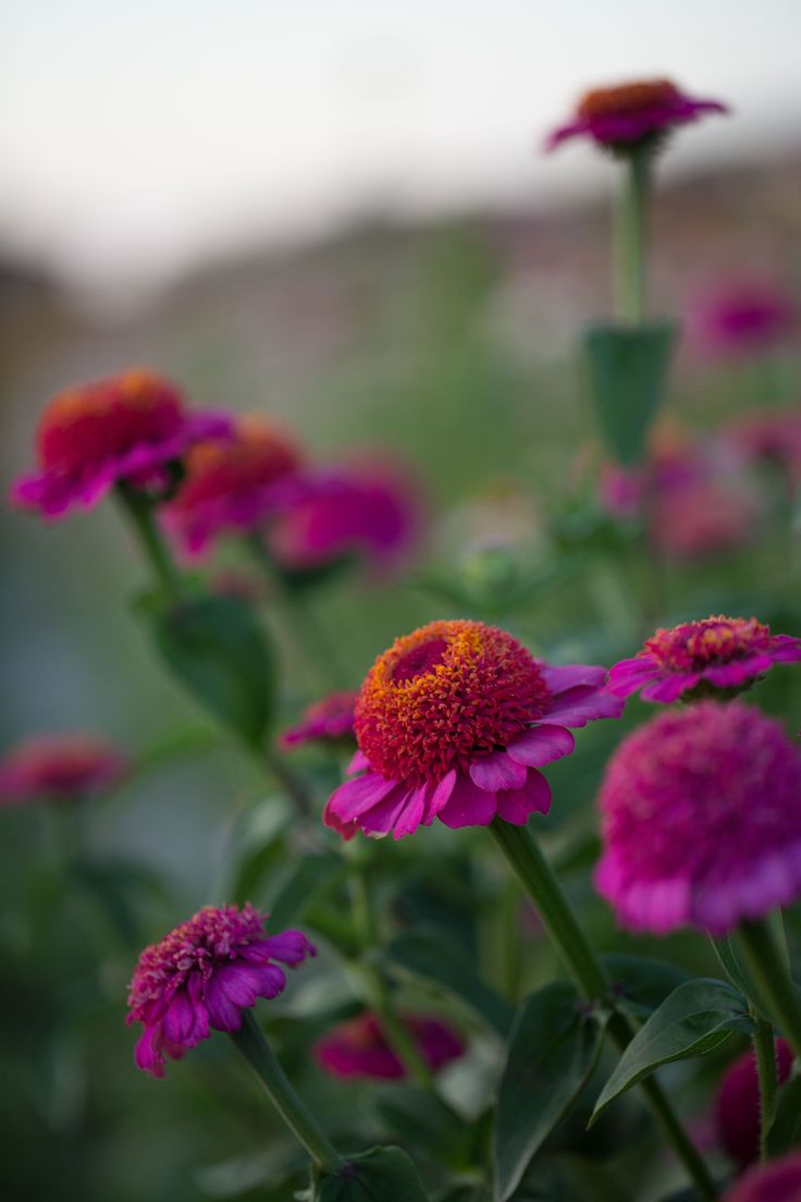 Heat tolerant and easy-to-grow, these bullet proof flowers bloom all summer long...