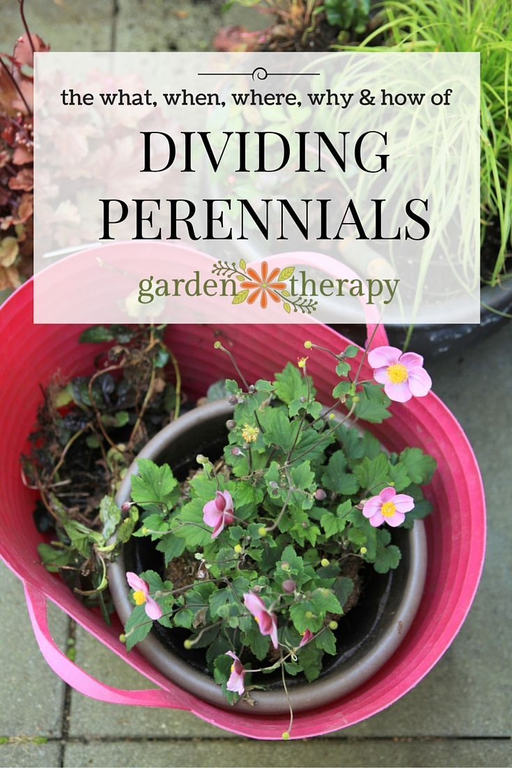 Here are the basics on dividing perennials and why you should be doing it!