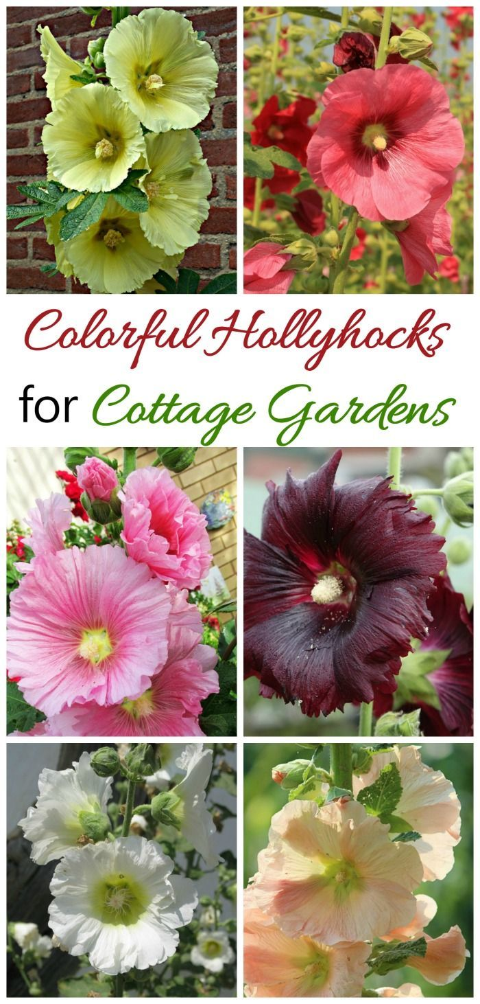 Hollyhocks come in many colors