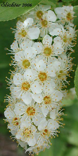 Inflorescence of Choke Cherry, Common Chokecherry: Prunus virginiana var. melano...