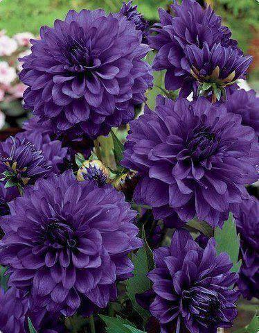 Luscious violet Dahlia