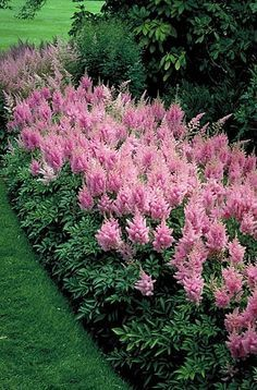 PINK ASTILBE (goat's beard): 1) Perennial 2) Shade loving with consistent mo...