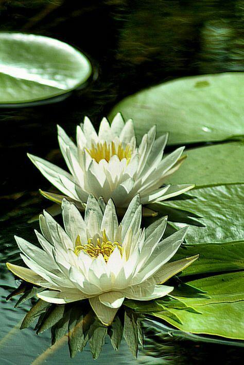 Pelargonium 'Mallorca' ❤ﻸ•·˙❤•·˙ﻸ❤   ᘡℓvᘠ □☆...