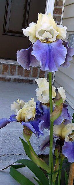 The Blue Iris: Bearded Iris