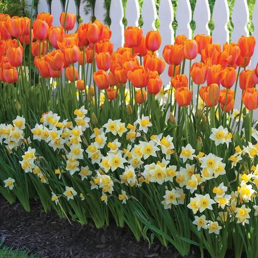 When this combination blooms next spring, your yard will be the envy of the neig...