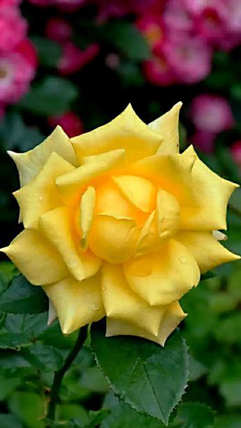 Yellow rose  ♥