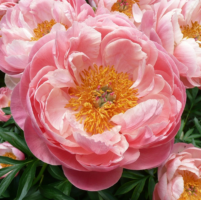Coral Charm Peony   My favorite!