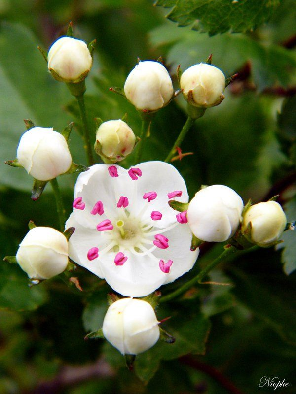 ~Crataegus spp. (Hawthorn)  ~Rosaceae  ~Traditional: TCM= digestive aid  ~Phytoc...