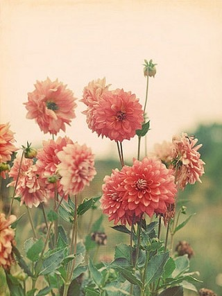 Daliah ----- My Mother grew these in her flower garden in a variety of colors ev...