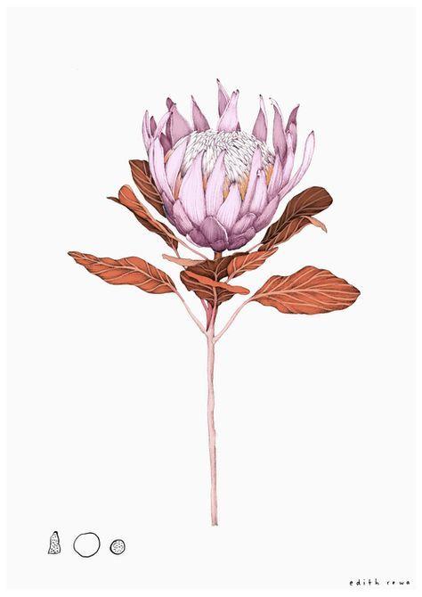 Edith Rawa- A4 King Protea colour.jpg