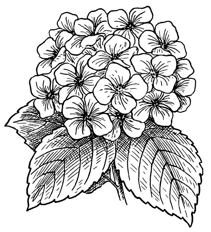 File:Hydrangea (PSF).png - Wikimedia Commons