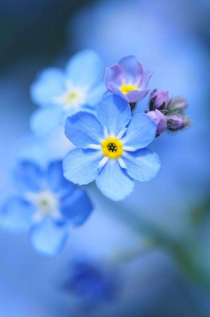 Flowers Drawings Forget Me Not True Love Memories In Both