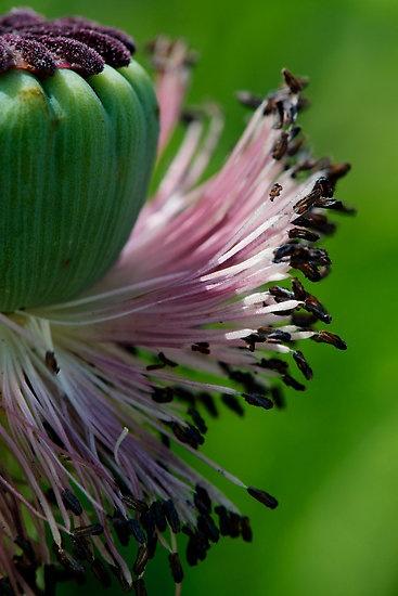 Fringe of poppy pollen