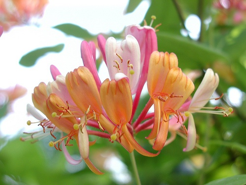 How to Grow Honeysuckle in 5 Steps- I love honeysuckle smell & would love to gro...