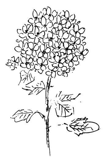 Hydrangea outline drawing