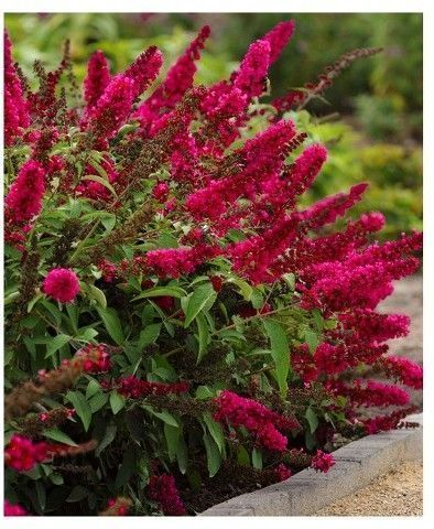 Buddleia 'Royal Red' - 'Royal Red' creates an amazing effect in the garden w...