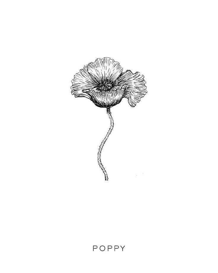 P O P P Y flower | drawing flower | botanical illustration |botanical line drawi...