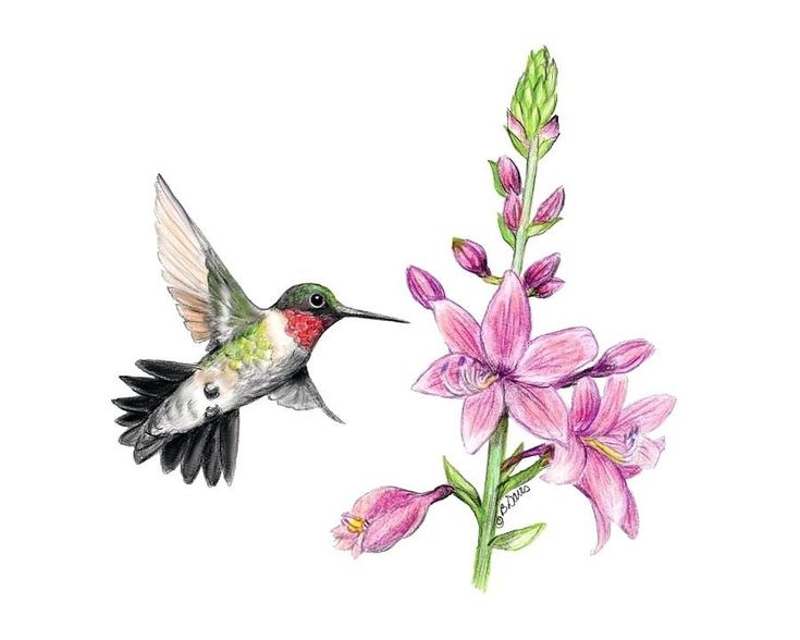 hummingbird and flower drawing ...