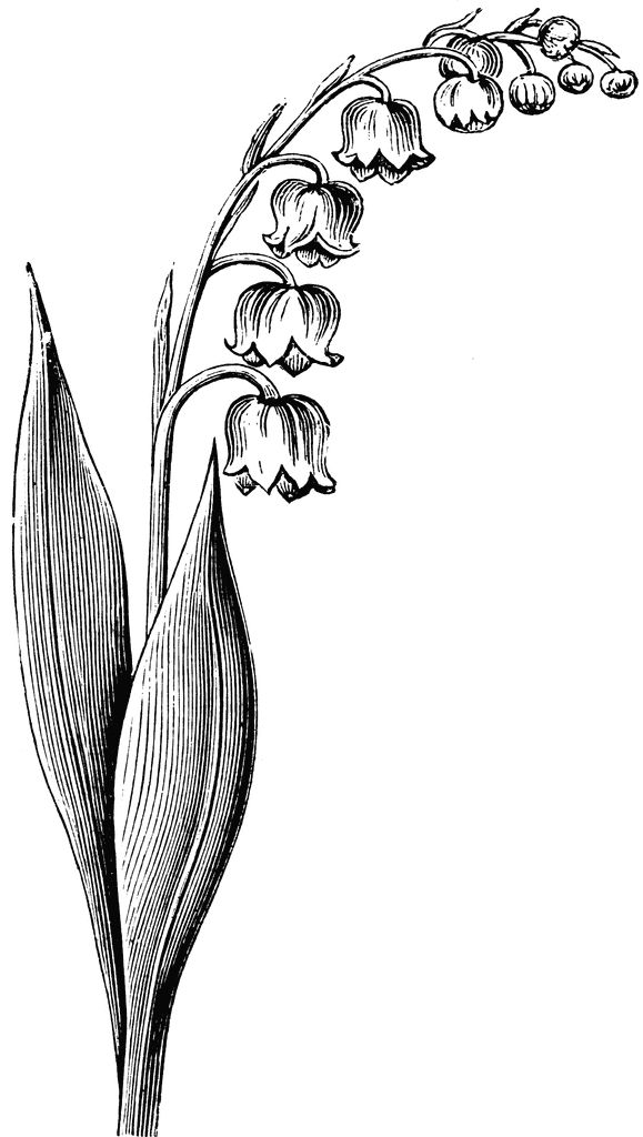 lilly+of+the+valley+flower+drawing. Peter's birth flower