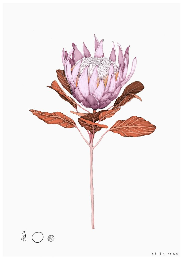 King Protea A4 Limited Edition Giclee Print  Giclee print on a heavyweight smo...