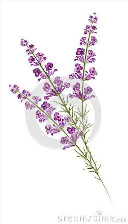 Lavender Drawing | Lavender. Watercolor drawing. Vector illustration.