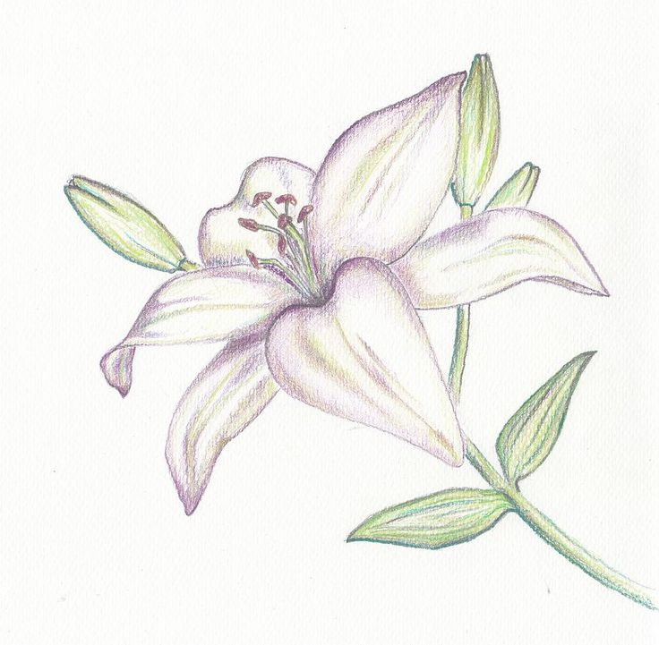 Lilies drawing - Google Search