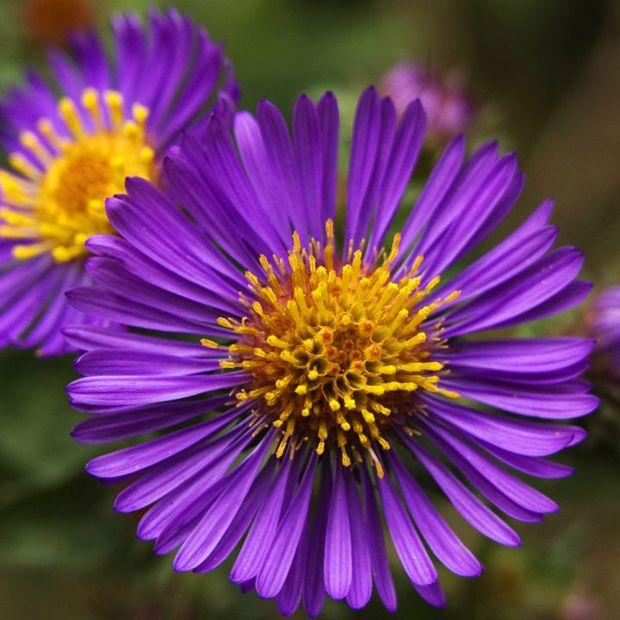 New England Aster   The straight, slender petals of the New England Aster don'...