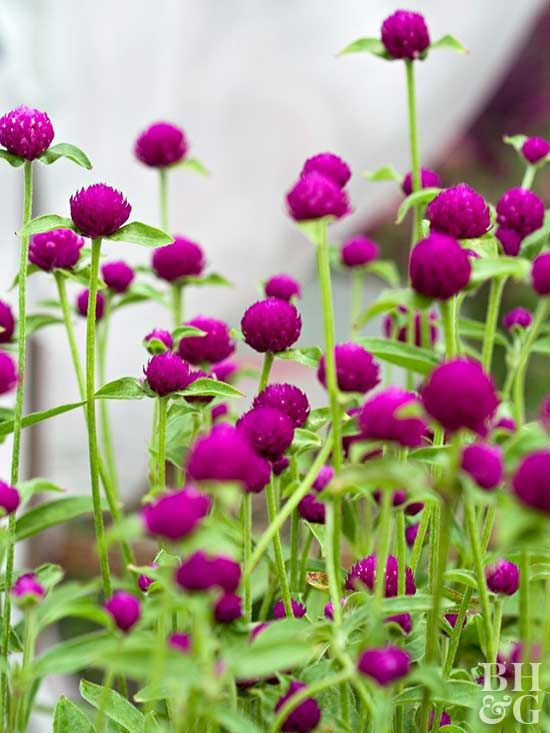 You also can call it globe amaranth, but whatever you call it, just plant it. It...