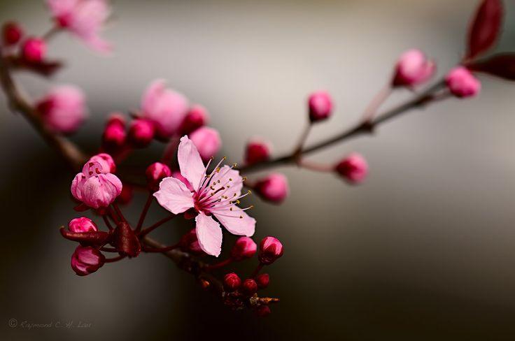 cherry tree blossoms macro - Google Search