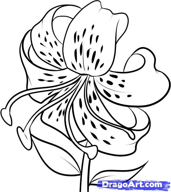 draw flowers | How to Draw a Tiger Lily, Step by Step, Flowers, Pop Culture, FRE...