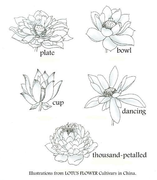 lotus classifications