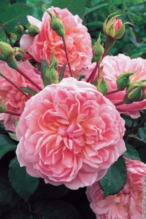 'Anne Boleyn' David Austin English roses