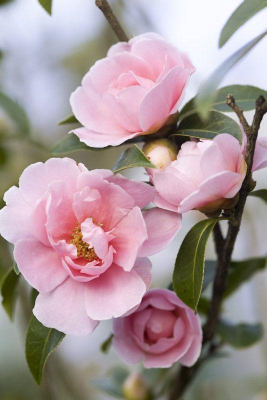 Camellia 'California Dawn'