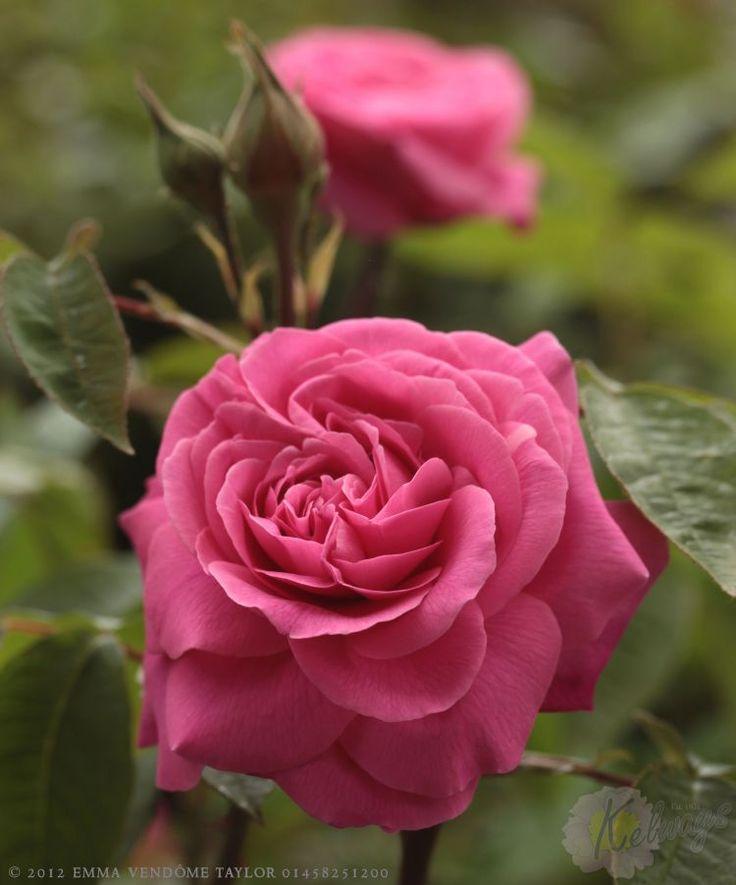 David Austin Rose 'Gertrude Jekyll'