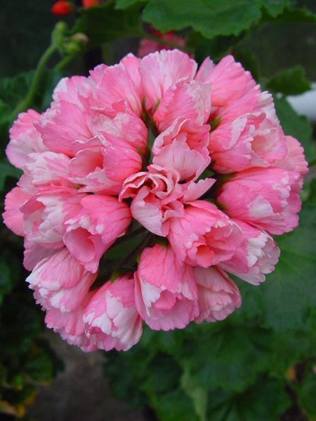 Geranium 'Marie-Louise' Pelargonium