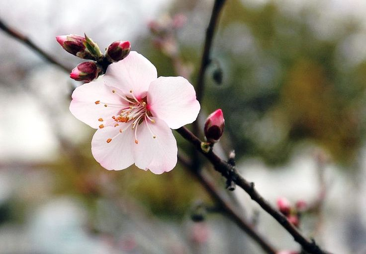 アーモンドの花 sweet almond