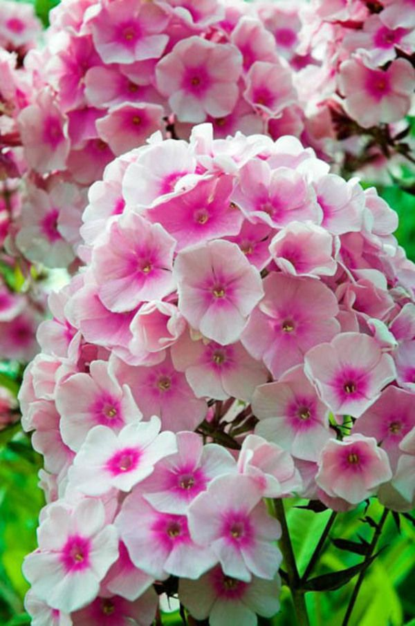 Pink Phlox for your garden
