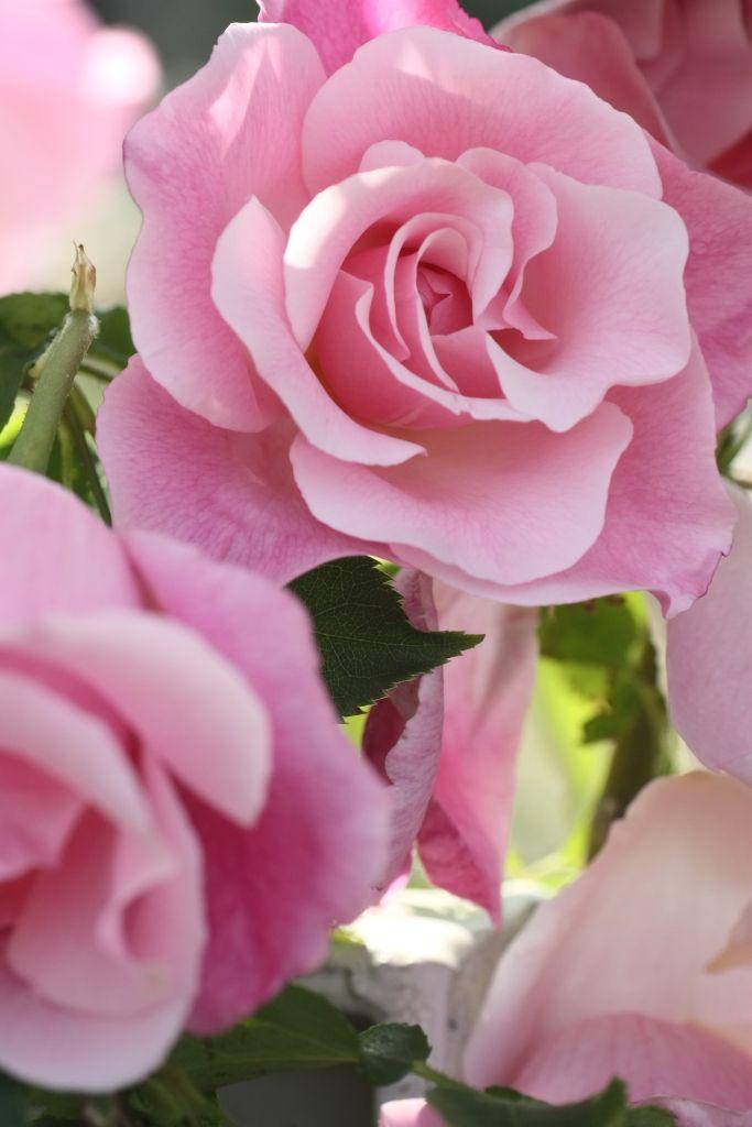 Rosa 'Spanish Beauty'