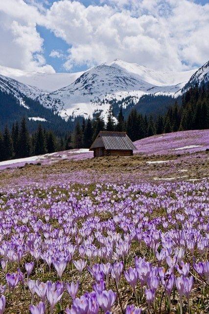 Crocus field, Tatra Mountains