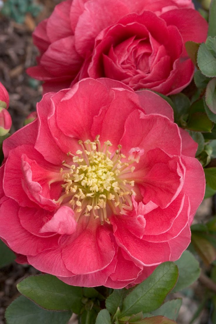 ✯ Flowering Quince - Pink Storm