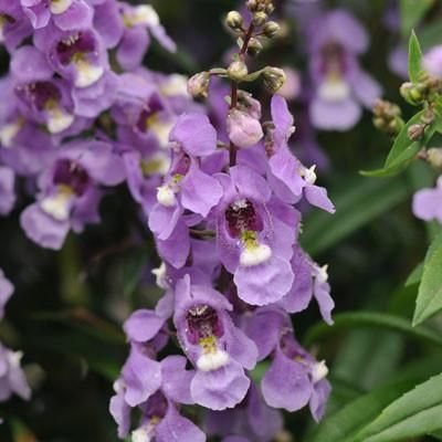 Angelonia Serenita Sky Blue F1 - This Angelonia series is a more compact version...