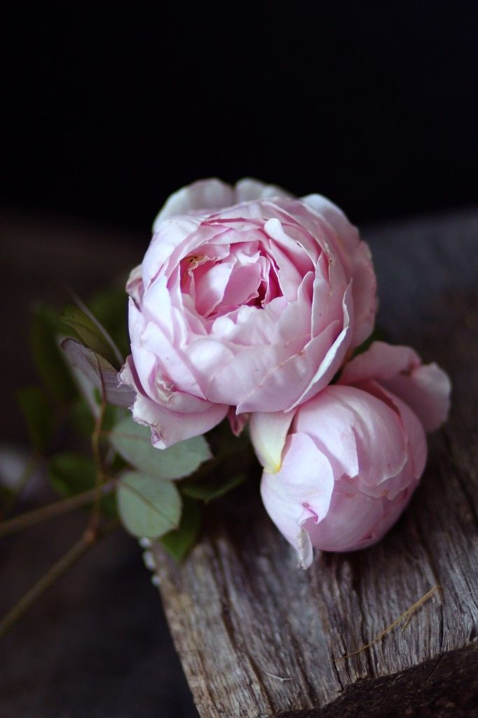 English Rose: Brother Cadfael - often mistaken for peonies.
