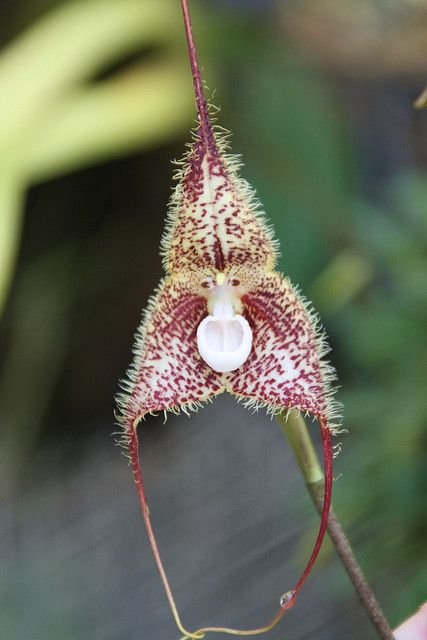 Fuzzy Monkey Face Orchid   by Columbus GV Team: Taken on a Habitat for Humanity ...